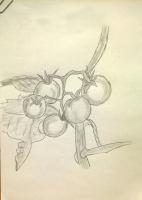 Dessin Tomate cerise de Claude16