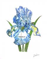 Dessin Iris de Zibeline