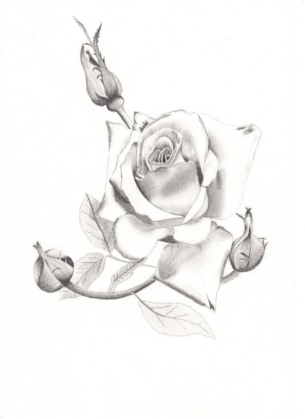 Dessin Rose de Naoto